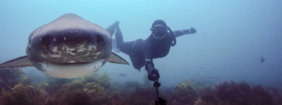 Diving with sevengill sharks in San Diego.