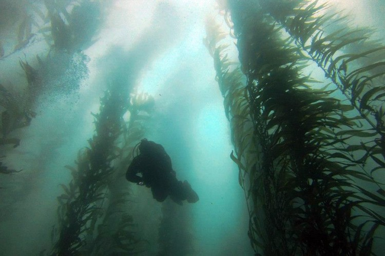 Diving in the northern kelp forest.