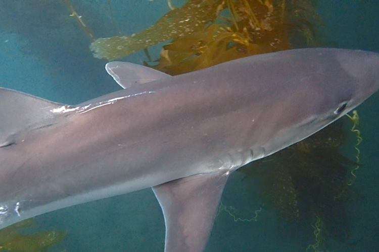 San Diego has tope sharks.