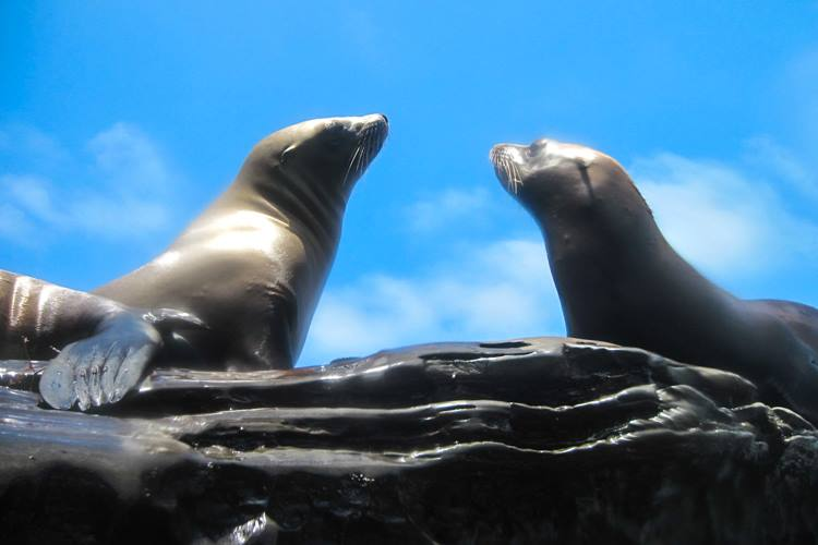 Sea Lions swimming in La Jolla Cove.