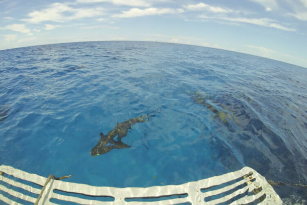 Caribbean reef sharks under boat.