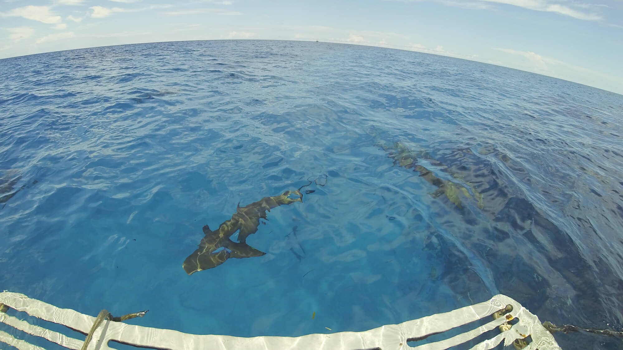 Tiger sharks schooling below our dive boat.