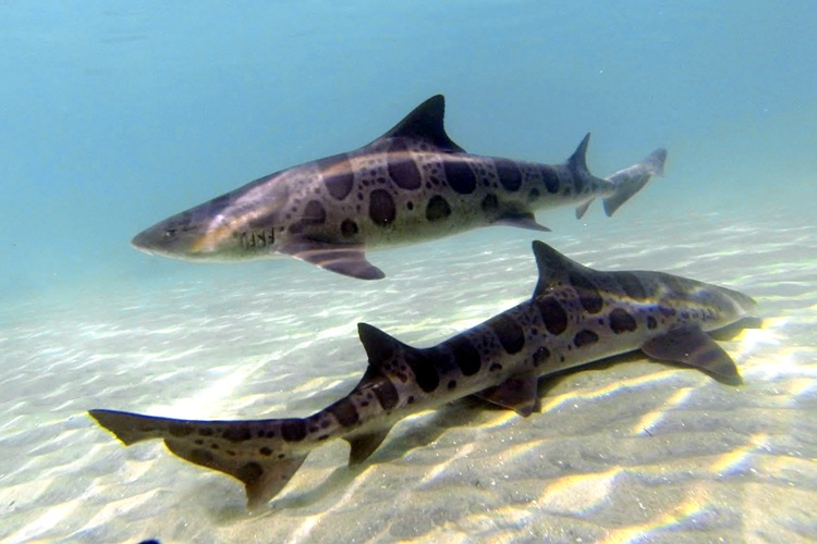 Snorkel with leopard sharks at the Marine Room.