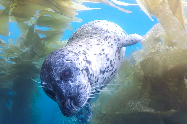 Harbor seal in the kelp canopy.
