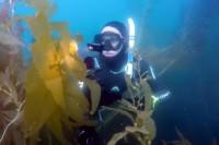 San Diego's famous giant kelp forest in La Jolla.