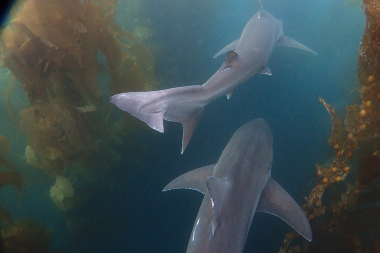 Tope sharks in the giant kelp.