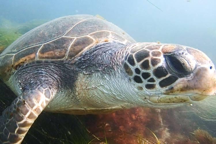 Green sea turtle is cute.