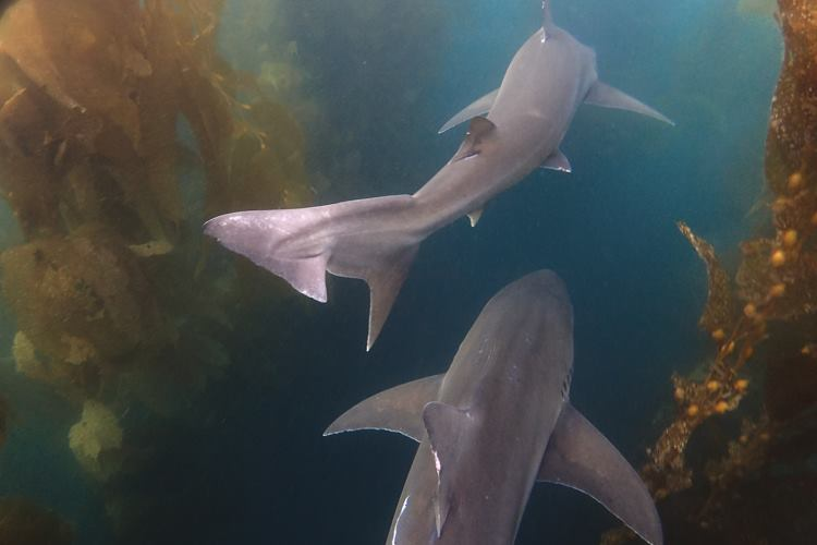 Tope sharks in San Diego.
