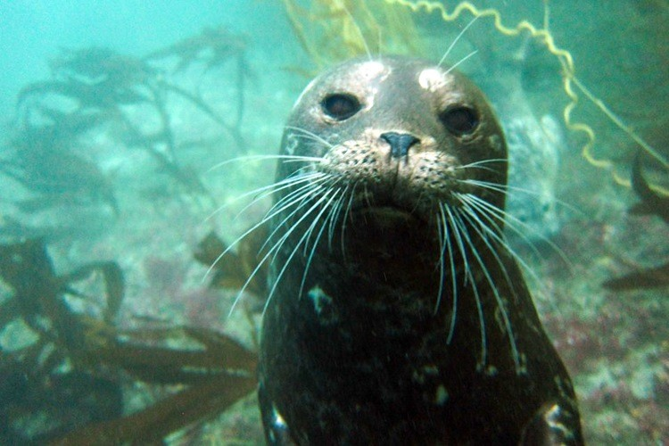 Diving with harbor seals.