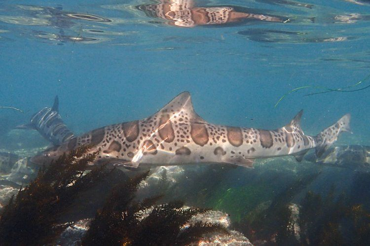 Snorkeling with leopard sharks