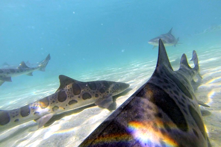 Marine Room snorkeling with leopard sharks.